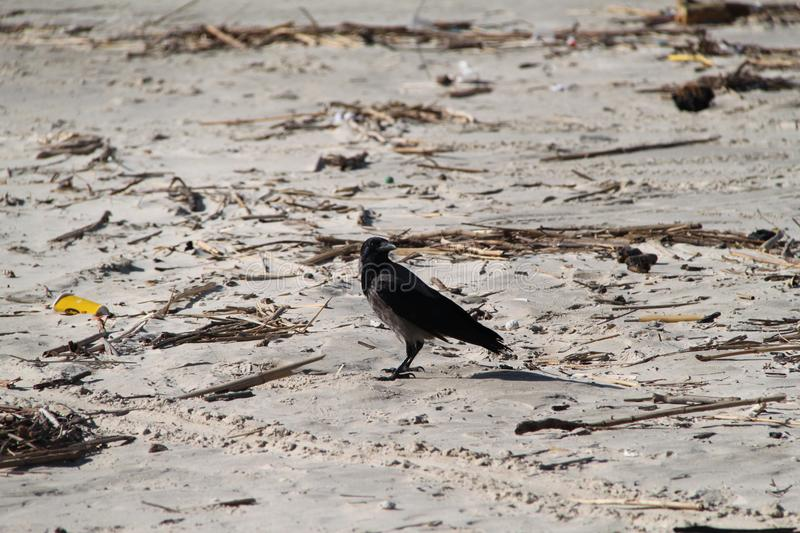 Crow Stands on The Beach Sand royalty free stock images