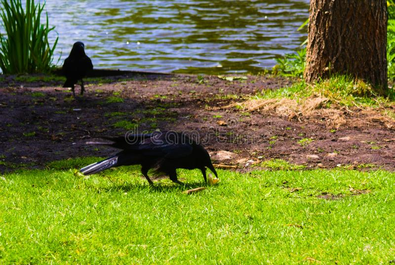 Crow stealing food from the newborn baby ducks royalty free stock images