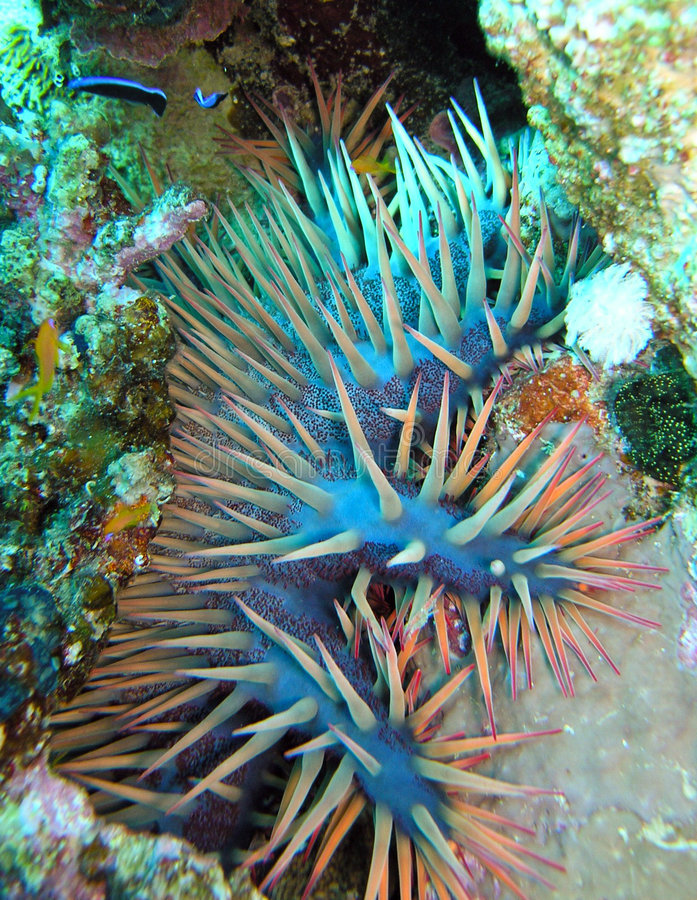 Crow of Thorns Starfish royalty free stock images