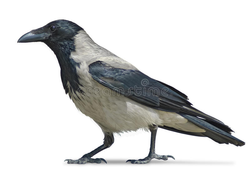 Crow walking. Hooded crow over white background