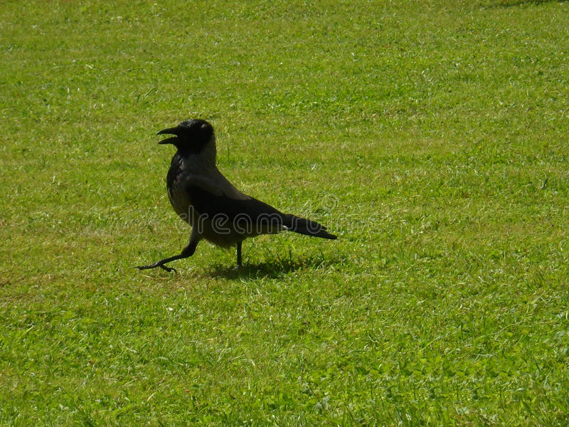 Crow is walking stock images