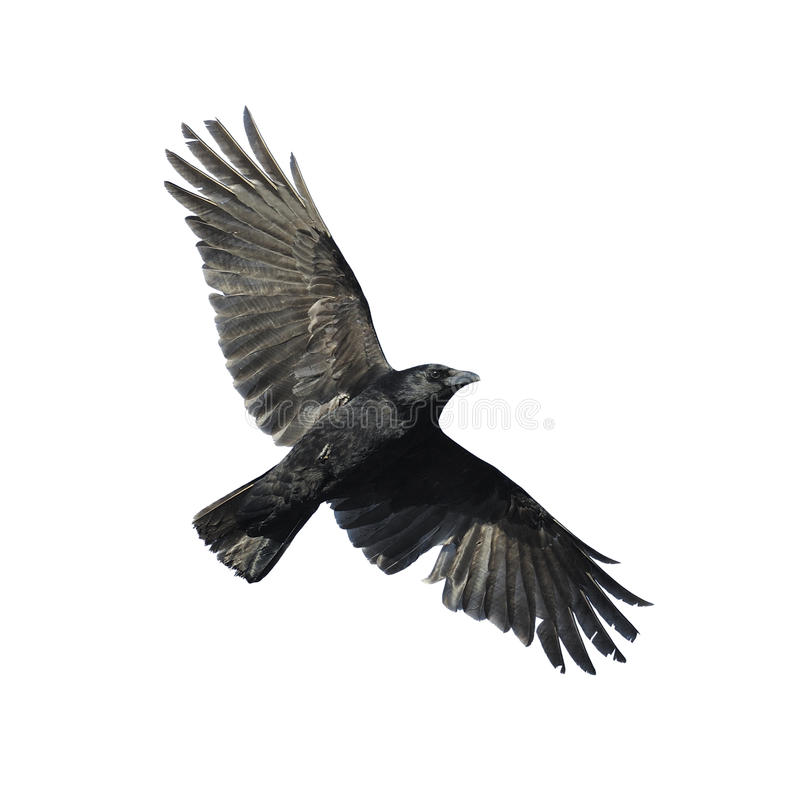 Crow with wide-spread wings royalty free stock images