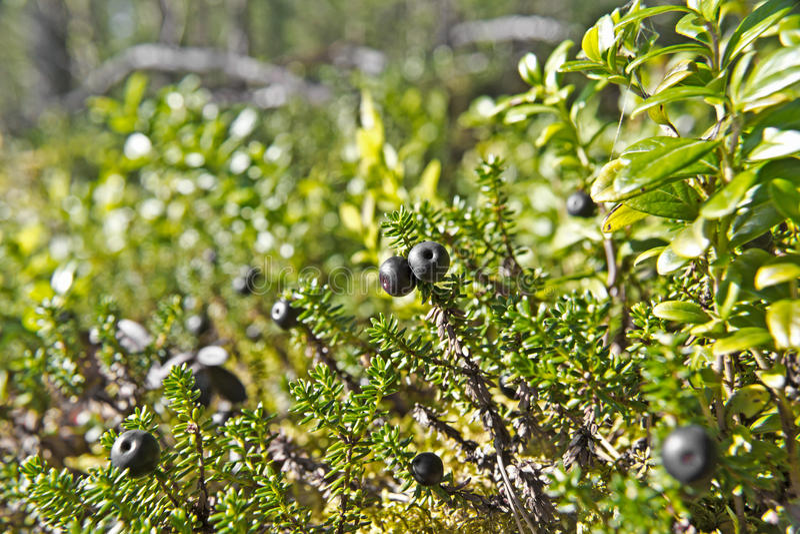 Download Crowberries stock photo. Image of nature, segezha, black - 26107832