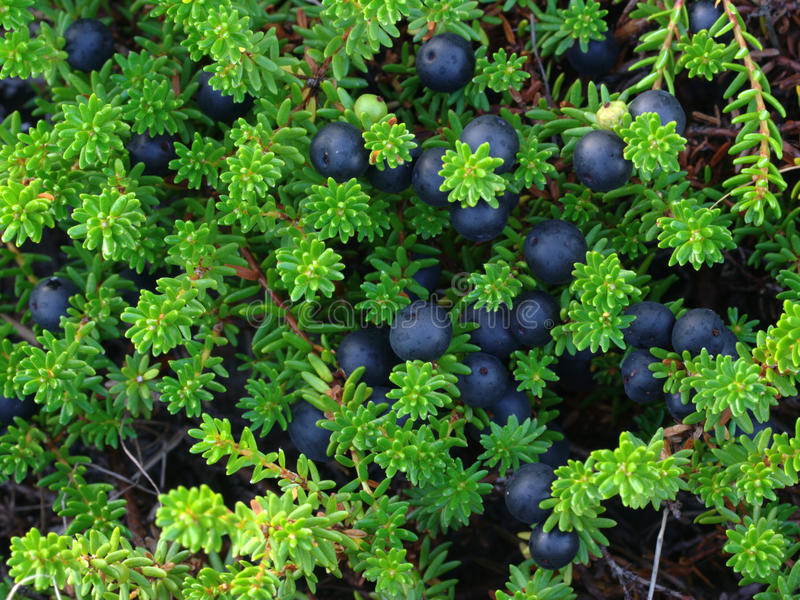 Crowberry royalty-vrije stock fotografie