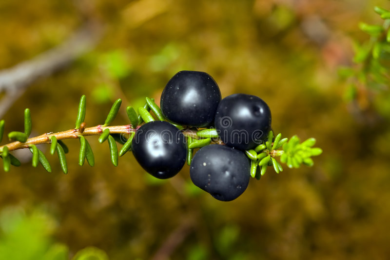 Crowberry fotos de stock