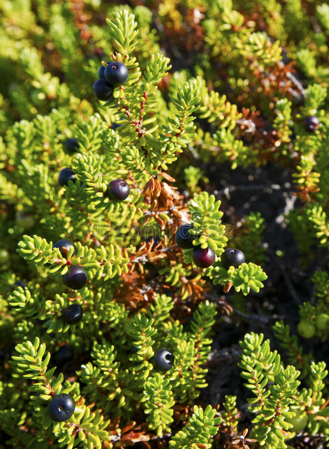 Crowberry (Empetrum) images stock