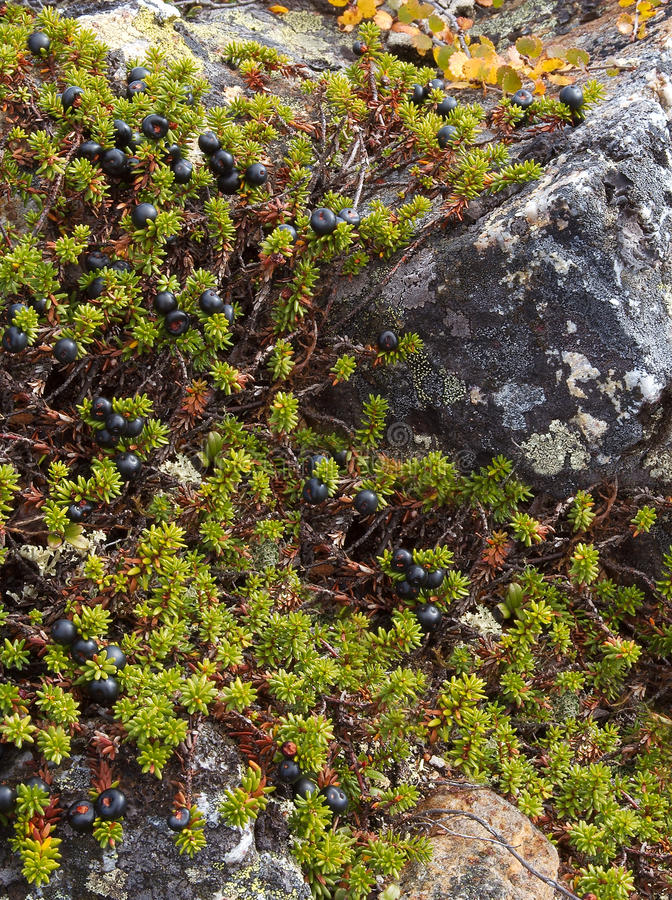 Crowberry Shrubs Royalty Free Stock Photo