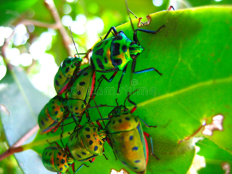 Crowd of beetles on a leaf stock photo