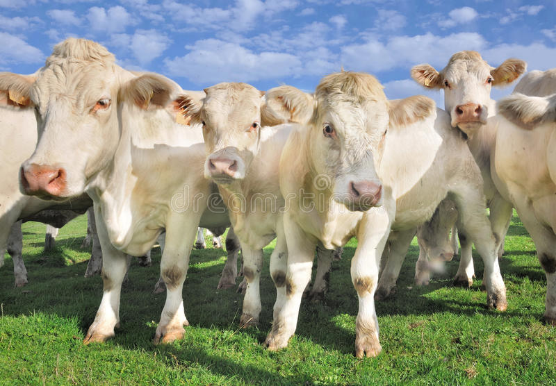 Crowd of calves and cows. Crowd of young calves and white cows royalty free stock images