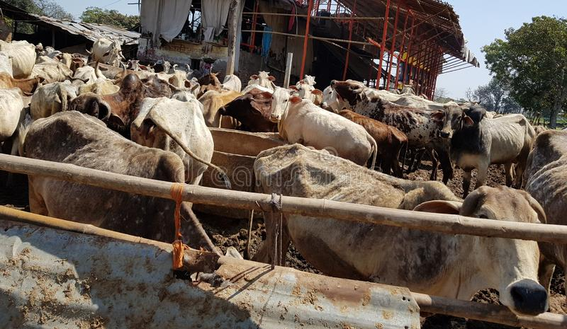 A crowd of Cows in a animal farm of India. Cow is a valuable animal for milk production royalty free stock images