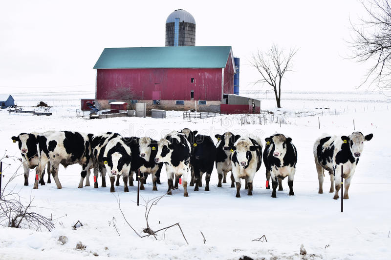 Crowd of Cows. A bunch of black and white dairy cows all lined up in a row in front of a red barn in the winter with snow covering the ground in Wisconsin