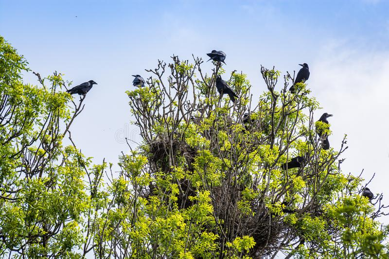 Crowd crows nest on tree in Serbia stock photos