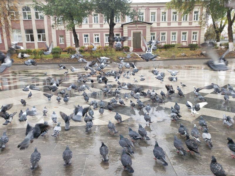 Crowd of pigeon on the walking street pigeons spread diseases royalty free stock photo