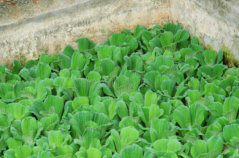 Crowd Water Cabbage in a Pond stock image