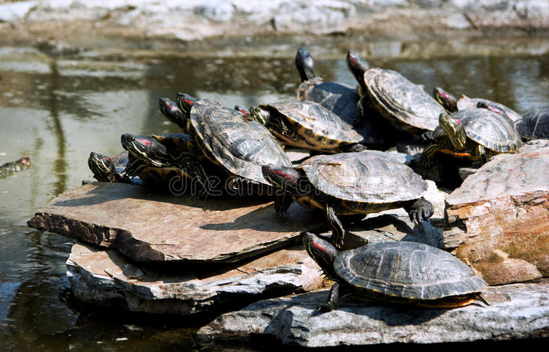 Crowded. Concept: agglomeration of florida turtles on a rock stock photography