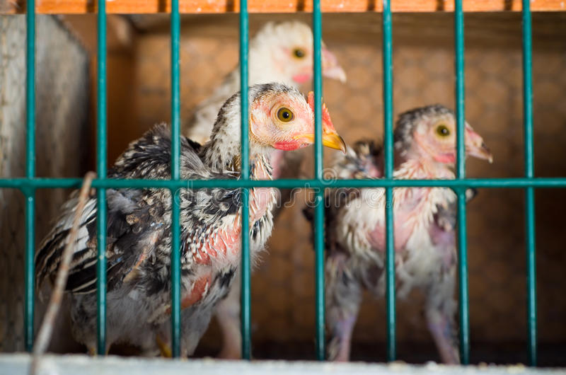 Crowded Chicken battery royalty free stock photography