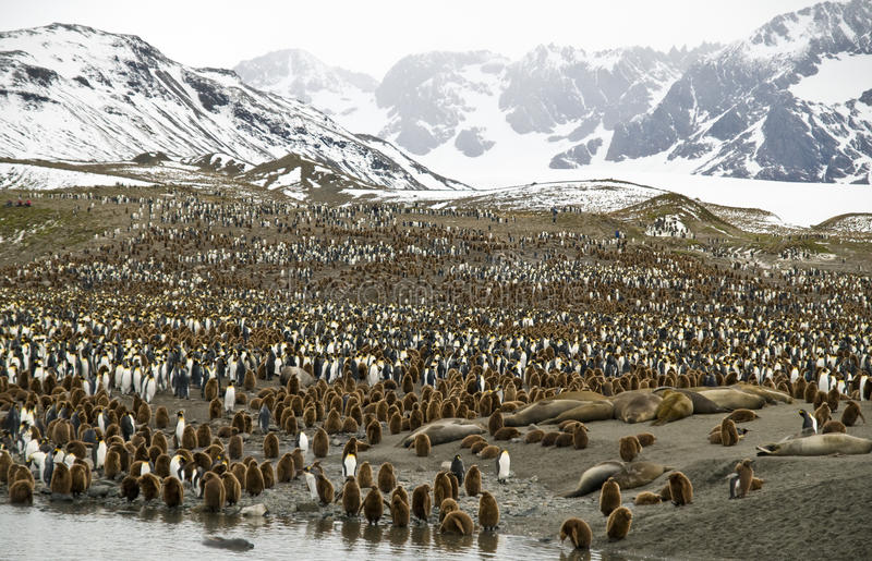 Crowded Valleys - Penguins, South Georgia royalty free stock photography