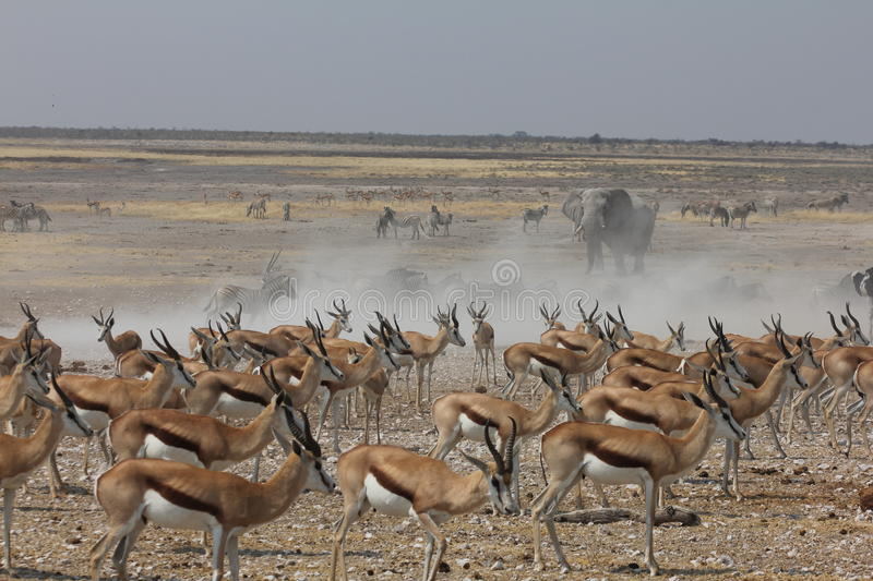 Crowded Waterhole in Namibia royalty free stock photos