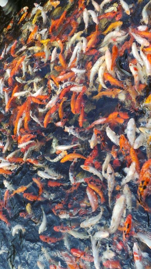 Crowding koi carp feeding royalty free stock image