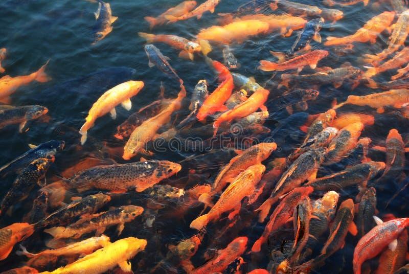 Download Crowed goldfish stock photo. Image of beautiful, goldfish - 8837008