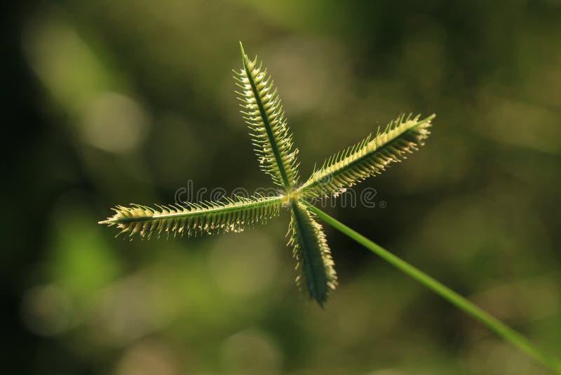 Crowfoot grass or Beach wire grass stock photos