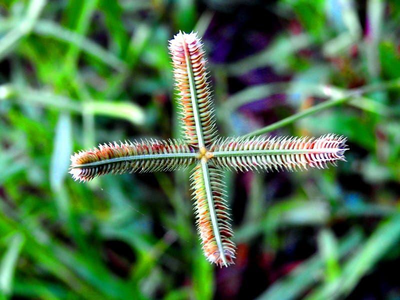 Crowfoot grass close up. stock photos
