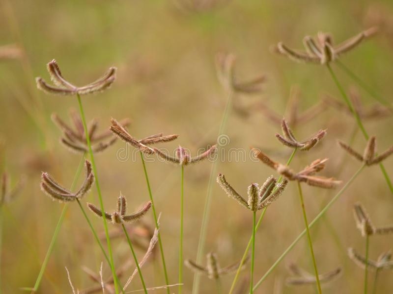 Crowfoot Grass Flowers On Soft-Focus Background stock photo