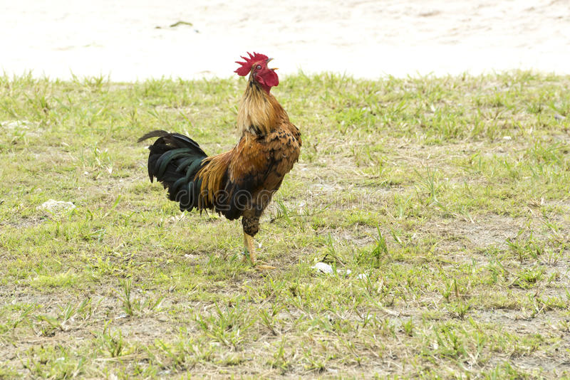 Crowing Rooster royalty free stock photo