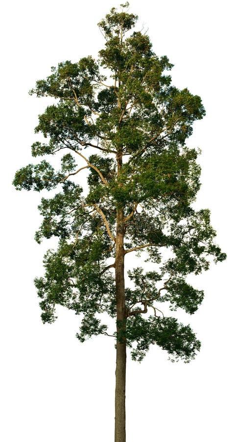 Crown of big tree on white royalty free stock photos