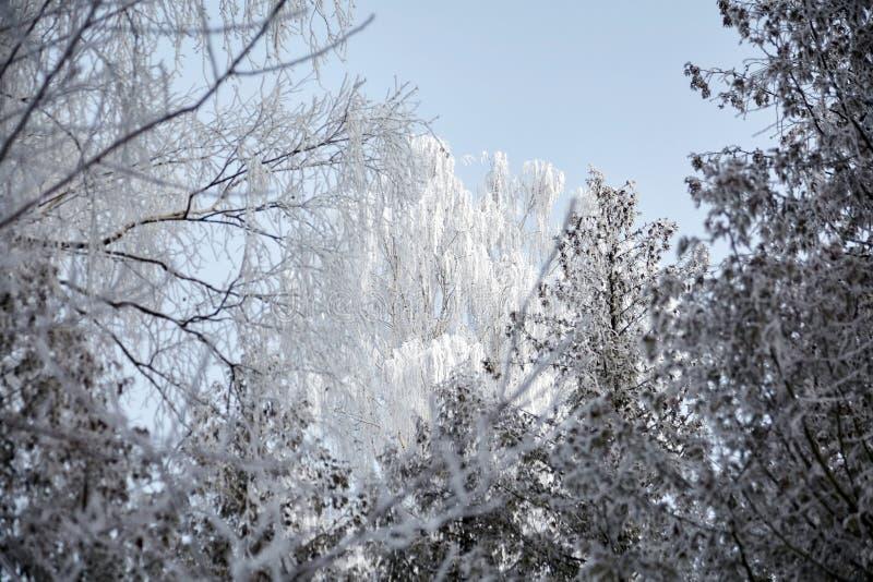 Crown of birch in the frost Winter deciduous forest Trees täckt med vit snö fotografering för bildbyråer