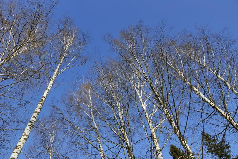 Crown of birch trees in spring, glowing white in the blue sky. Shining white birch as a spring candle harbingers of heat royalty free stock image