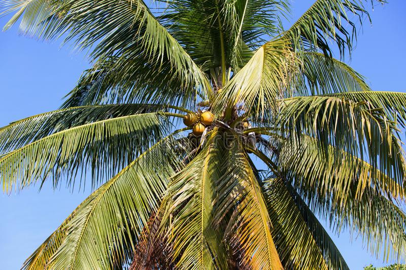 Crown of a coconut palm with ripe nuts against a blue sky background. The crown of a coconut palm tree with green foliage and ripe bunches of coconuts on blue stock photos