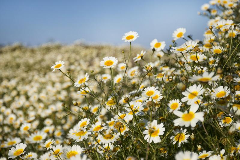 crown daisies in the countryside. royalty free stock image