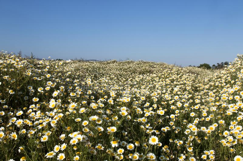 crown daisies in the countryside. royalty free stock photography