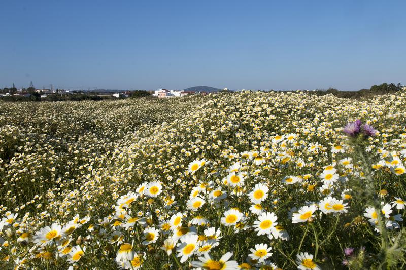crown daisies in the countryside. royalty free stock photos
