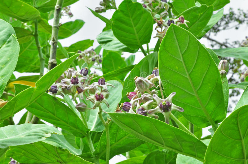 Crown flower stock photo
