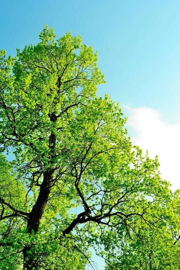 Download Crown Of An Oak In May, Covered With First Leaves Stock Image - Image: 31053615
