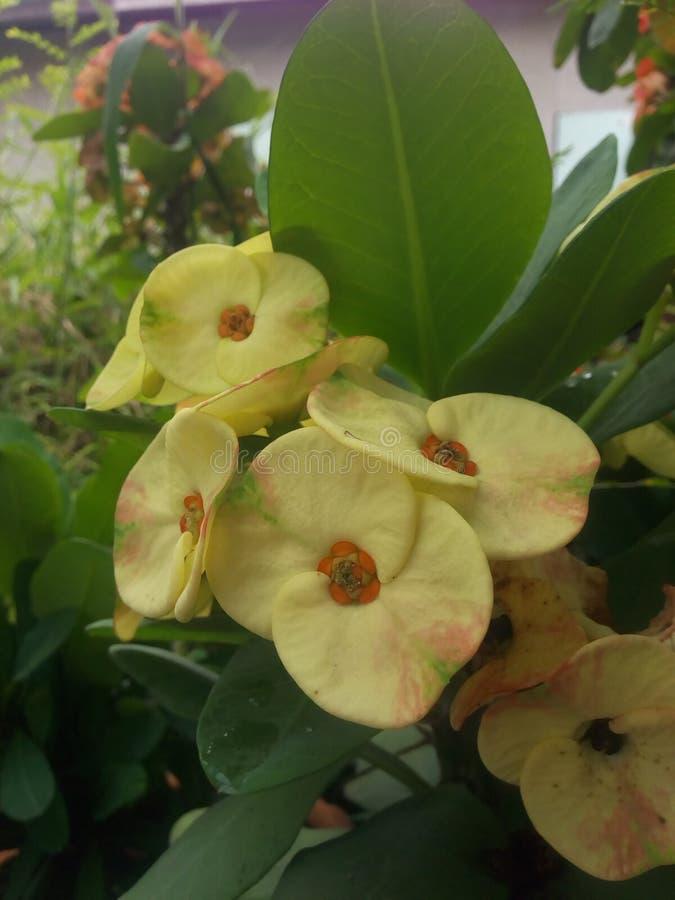 Free Crown Of Thorns,Euphorbia Milli Yellow Stock Image - 126815181