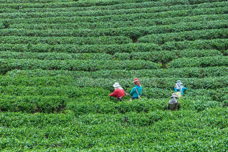The crown are picking top tea leaves stock images