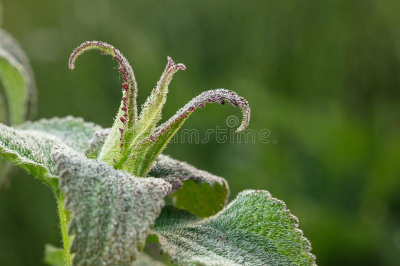 Crown. The plant is bizarre. Wonder of nature. HD best of the best images royalty free stock photos