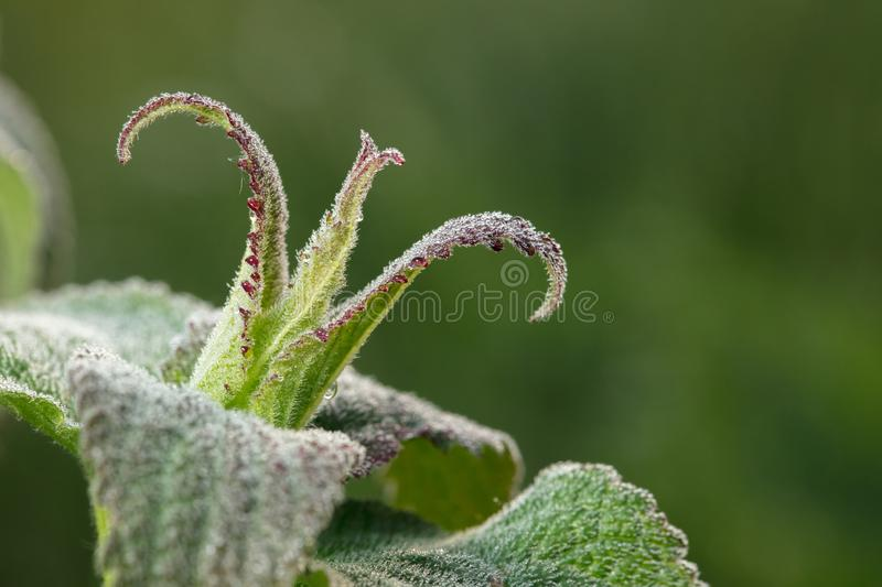 Crown. The plant is bizarre. Wonder of nature. HD best of the best images royalty free stock images