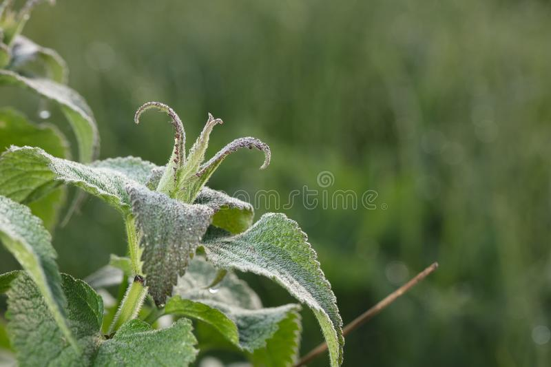 Crown. The plant is bizarre. Wonder of nature. HD best of the best images stock photography