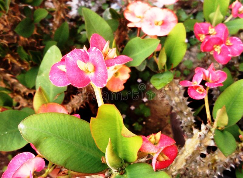 Crown of thorns pink flowers royalty free stock images