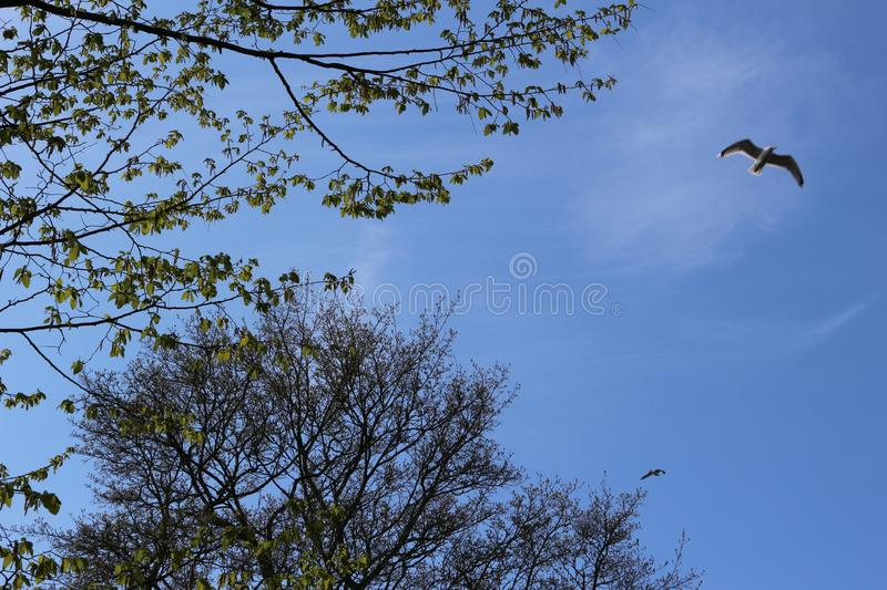 Crown tree blue sky and flying birds stock photography