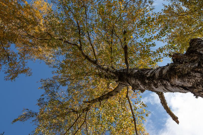 Crown of tree seen from bellow, in autumn, red and yellow colors stock image