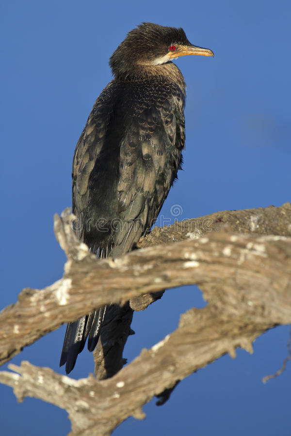 Reed Cormorant stock photo