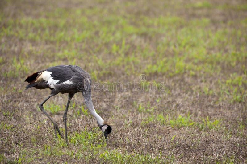 Crowned crane stock image