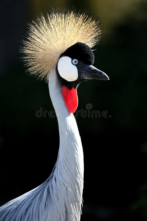 Free Crowned Crane Bird Stock Photo - 35348990