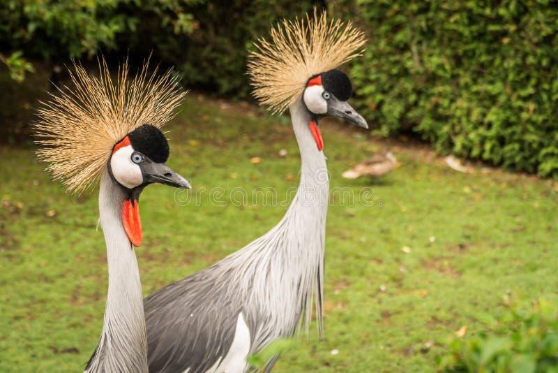 Crowned Crane Bird Portrait royalty free stock photography