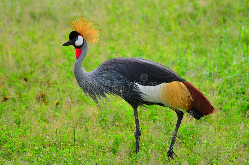Crowned Crane. A crowned crane in Luangwa National Park in Zambia stock photos